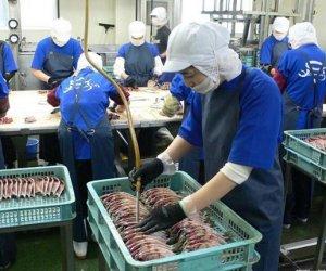 赴日本和歌山县技能实习生-水产工