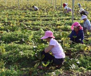 赴日本茨城技能实习生-种植业