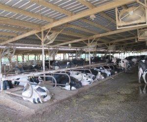 日本熊本县畜牧业(养牛)工