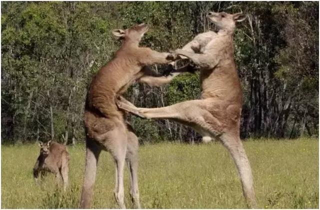 澳洲旅游请注意一定要避开这些危险的动物